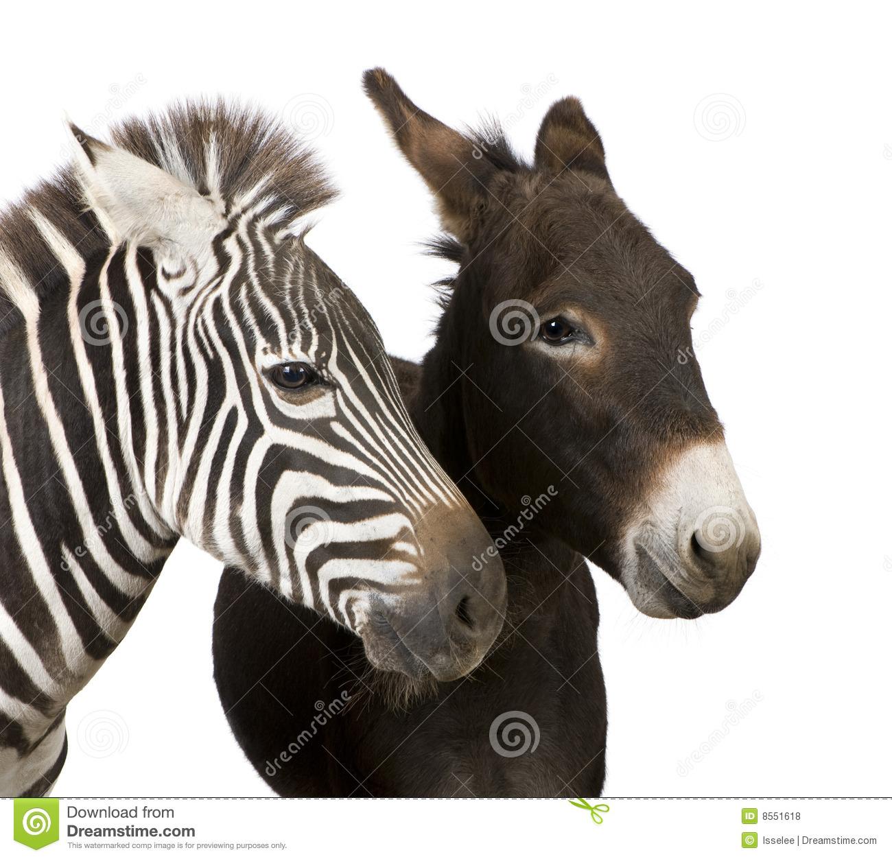 Dialogo tra il Ciuccio e la Zebra